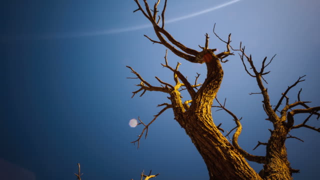 linear, pan and tilt timelapse of dead abstract acacia tree against a blue sky with texture and sun flare, rotating - inquadratura estrema dal basso video stock e b–roll