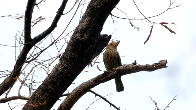 lineated barbet bird - animal migration stock videos & royalty-free footage