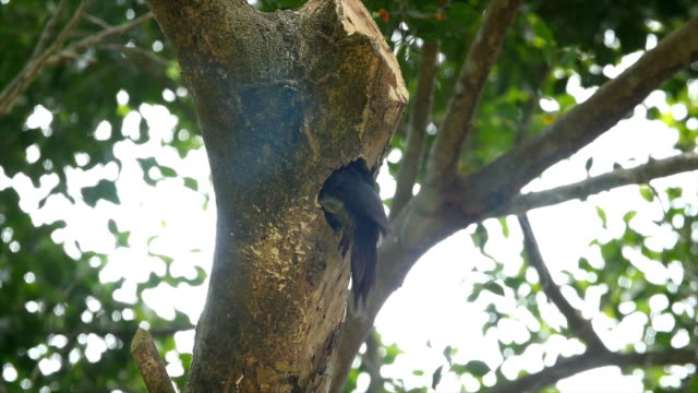 lineated woodpecker  (dryocopus lineatus), pecking on  a tree - lineated woodpecker stock videos & royalty-free footage