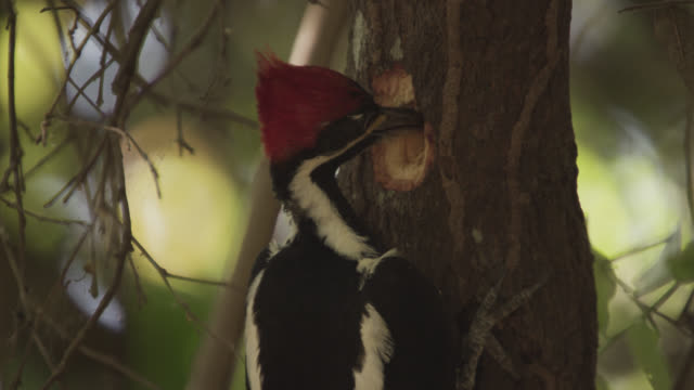 lineated woodpecker (drycopus lineatus) pecks at tree trunk to find insects. - lineated woodpecker stock videos & royalty-free footage