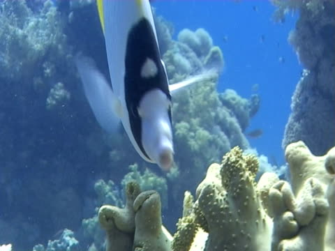 lined butterflyfish (chaetodon lineolatus). feeds on soft corals. red sea - stingray stock videos and b-roll footage