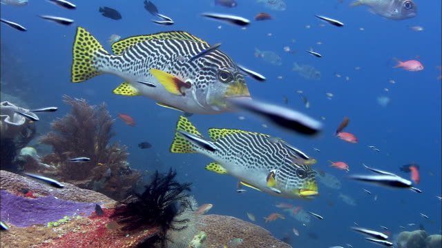 Lined sweetlips (Plectorhinchus lineatus) and convict blennies (Pholidichthys leucotaenia) on coral reef, West Papua, Indonesia
