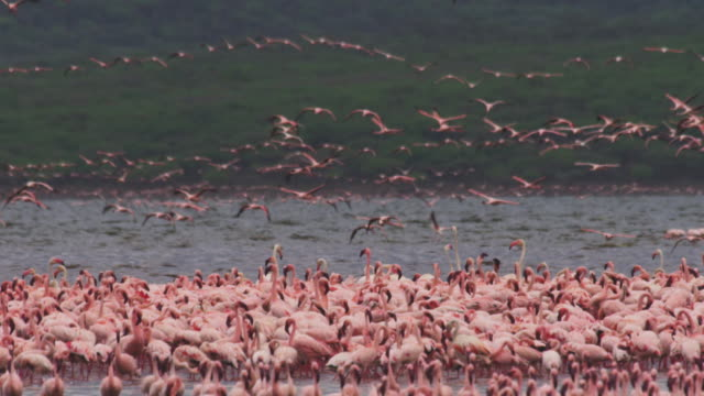 WS lines of African Lesser Flamingoes flying over Lake Bogoria R/F to massed flock in foreground