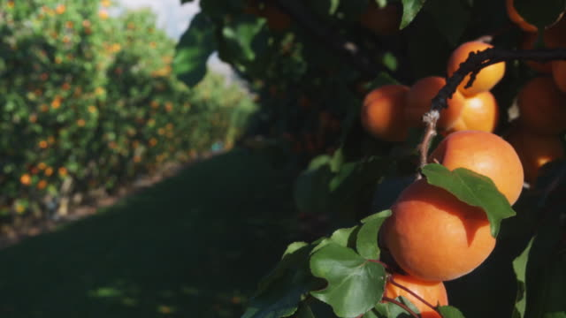 cu zi lines of apricot trees in orchard with ripe fruits in foreground / central otago, new zealand - orchard stock videos and b-roll footage