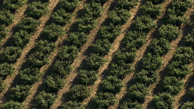 aerial lines of olive trees, stellenbosch, western cape, south africa - stellenbosch 個影片檔及 b 捲影像