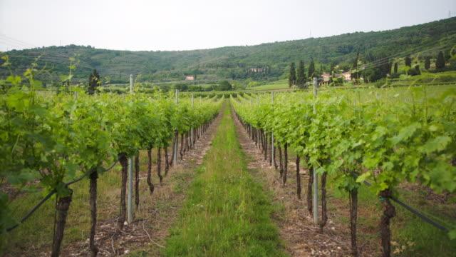vídeos y material grabado en eventos de stock de lines of vines in valpantena. - hoja de la vid