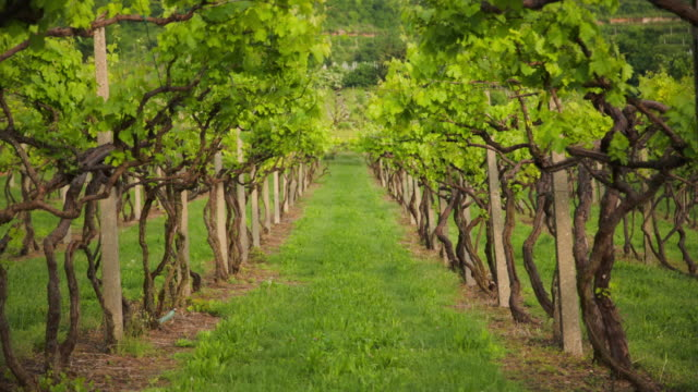 lines of vines. - grape leaf stock videos and b-roll footage