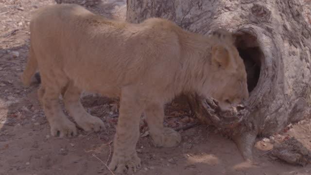 lion / africa - 有名原生地域点の映像素材/bロール