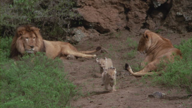 A lion and a lioness watching as their cubs trot past them.