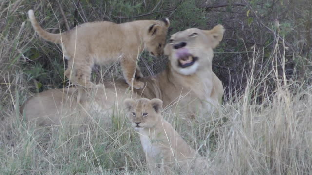 lion and cubs - lion cub stock videos & royalty-free footage