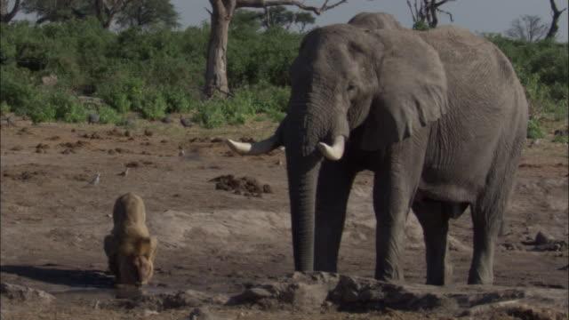 lion and elephant at waterhole, botswana - 厚皮動物点の映像素材/bロール