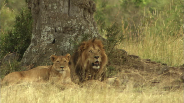 lion and lioness in grass look away - safari animals stock videos & royalty-free footage