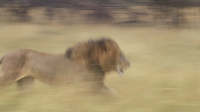 ms ts lion and lioness running through grass / tanzania - lion stock videos & royalty-free footage