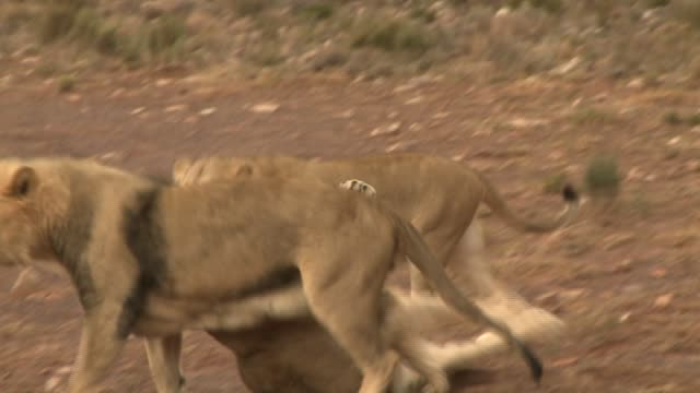a lion and two lionesses rough-house in the dirt. available in hd. - play fight stock videos and b-roll footage