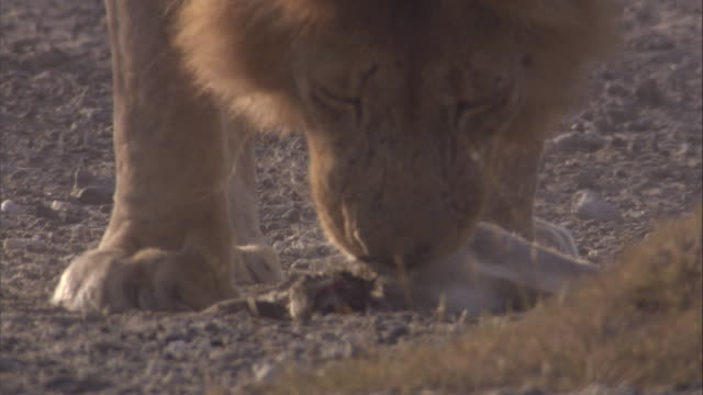 vídeos de stock, filmes e b-roll de lion approaches hare carcass and picks it up. available in hd. - machos