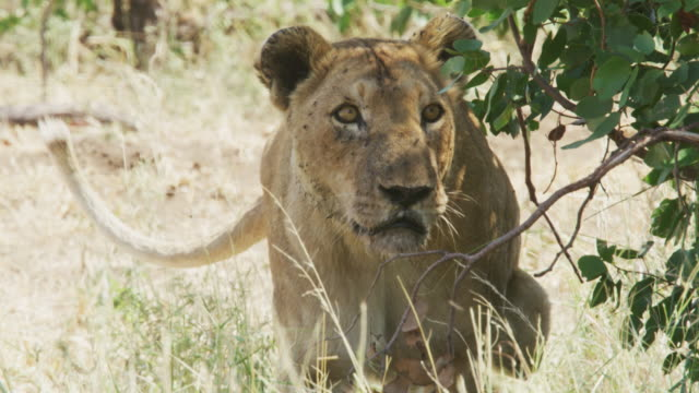 a lion at a buffalo kill in kruger national park / south africa - mpumalanga province stock videos and b-roll footage