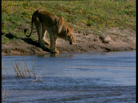 Lion at water's edge, snarls, drinks then dips foot into water