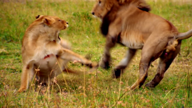 vidéos et rushes de ms ts lion attempting to mating with lioness and getting chased off / masai mara, kenya - accouplement lion