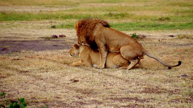 vídeos y material grabado en eventos de stock de ms lion attempting to mating with lioness / masai mara, kenya - apareamiento