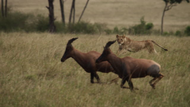 lion (panthera leo) chases topi (damaliscus korrigum) on savannah, kenya - lion stock videos & royalty-free footage