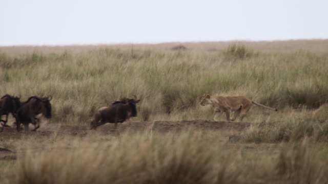 stockvideo's en b-roll-footage met lion (panthera leo) chases wildebeest on savannah, kenya - jagende dieren
