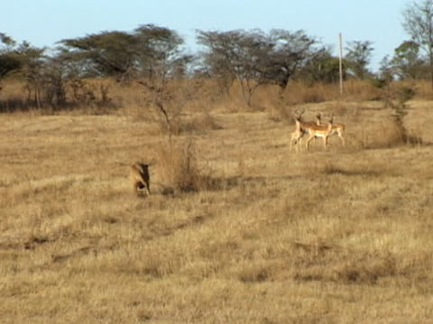 lion chasing impala - lion stock videos & royalty-free footage