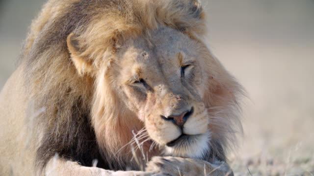 vídeos de stock, filmes e b-roll de cu lion (panthera leo) cleaning itself / kgalagadi transfrontier park, kgalagadi district, south africa - bigode de animal