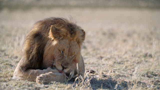 MS Lion (Panthera leo) cleaning itself / Kgalagadi Transfrontier Park, Kgalagadi District, South Africa