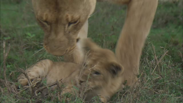 vídeos de stock, filmes e b-roll de a lion cub and a lioness playing together on the grass in serengeti national park, tanzania - bigode de animal