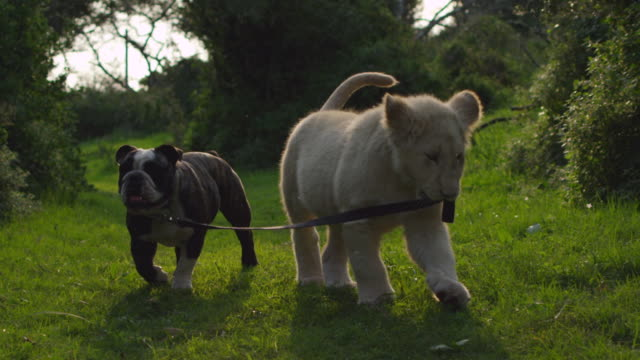 stockvideo's en b-roll-footage met  ms slo mo lion cub and bulldog plyaing / port elizabeth, south africa - animal