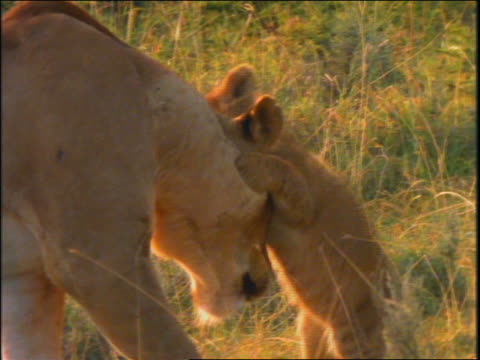Lion cub attacks mother's head / other cubs appear, they play + wrestle near mother lying down
