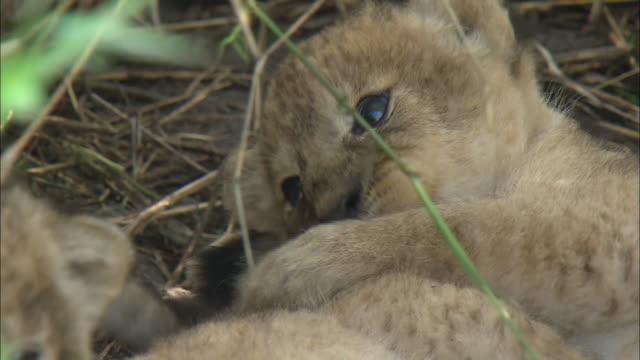 vídeos de stock, filmes e b-roll de a lion cub biting its paw in the bush of serengeti national park, tanzania - bigode de animal