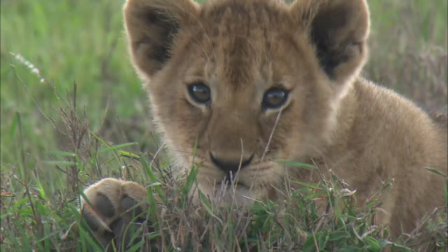 stockvideo's en b-roll-footage met a lion cub biting licking its paw on the grass in serengeti national park, tanzania - welp
