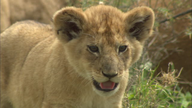 a lion cub breathing hard on the grass at serengeti national park, tanzania - carnivora stock videos and b-roll footage