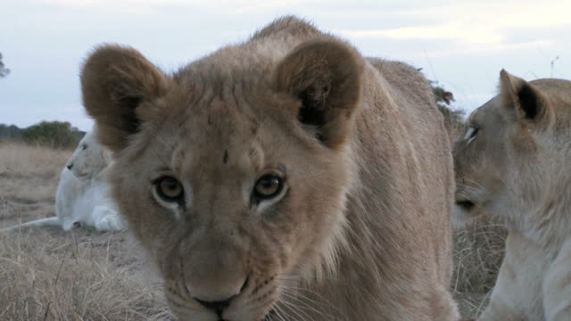 lion cub defending the pride - endangered species stock videos & royalty-free footage