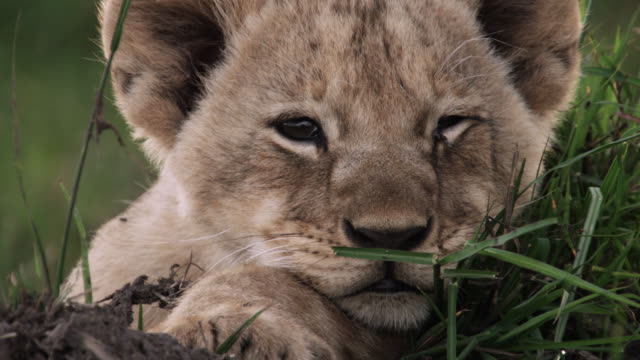 Lion (Panthera leo) cub dozes on savannah, Kenya