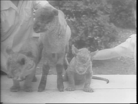 Lion cub drinks form a bottle / lion cubs and lambs together / feeding a lamb a bottle / a little girl with three baby skunks then feeding a lion cub...