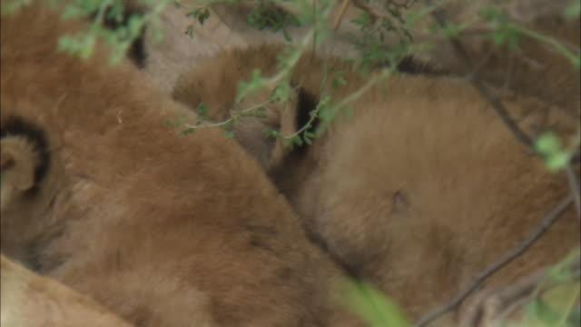 vídeos y material grabado en eventos de stock de a lion cub drinks mother's milk in the bush, serengeti national park, tanzania - grupo pequeño de animales