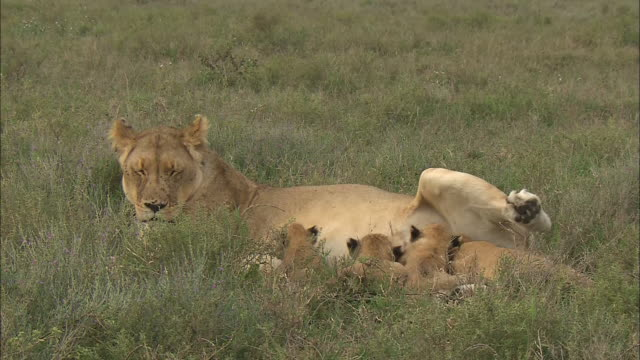 vidéos et rushes de a lion cub drinks mother's milk on the grass in serengeti national park, tanzania - allaiter