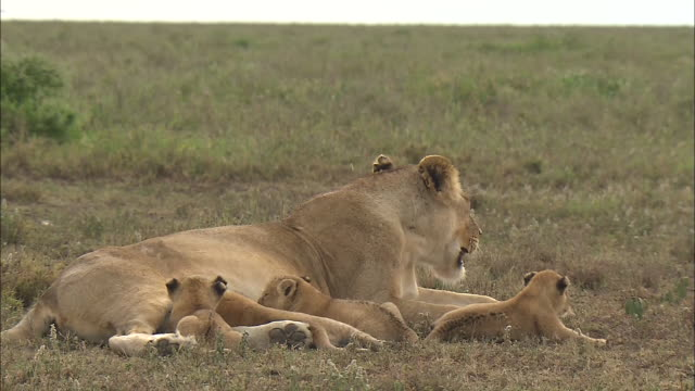 a lion cub drinks mother's milk on the grass in serengeti national park, tanzania - young animal video stock e b–roll