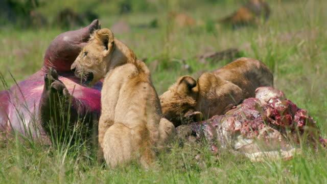 stockvideo's en b-roll-footage met lion cub eating hippo maasai mara, kenya, africa - nijlpaard