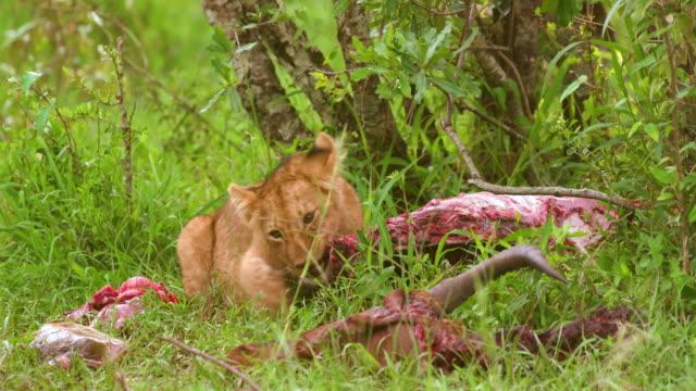 vídeos y material grabado en eventos de stock de lion cub eating topi, maasai mara, kenya, africa - matar