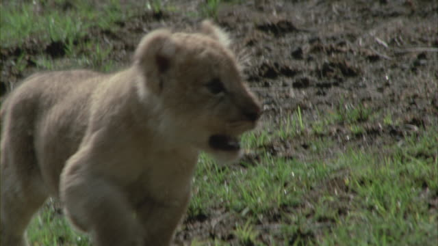 a lion cub following its mother in a savanna. - lion cub stock videos & royalty-free footage