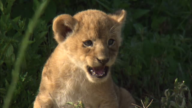 a lion cub growling on the grass in serengeti national park, tanzania - lion cub stock videos & royalty-free footage