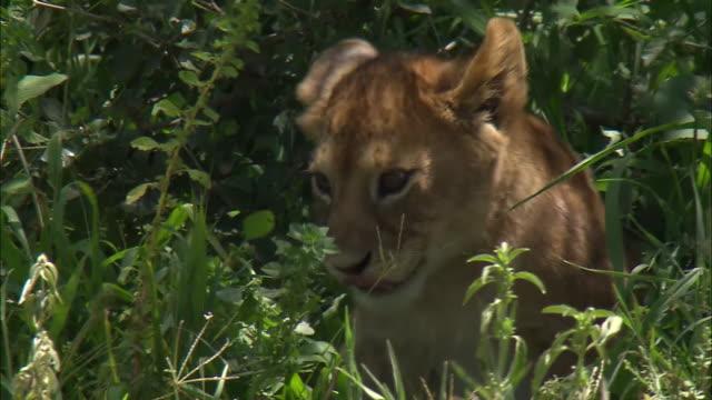 lion cub in a bush in serengeti national park, tanzania - lion cub stock videos & royalty-free footage