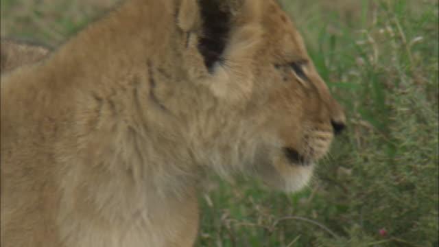 vídeos de stock, filmes e b-roll de a lion cub in the bush of serengeti national park, tanzania - bigode de animal