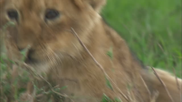 vídeos de stock, filmes e b-roll de a lion cub in the bush of serengeti national park, tanzania - cabeça para trás