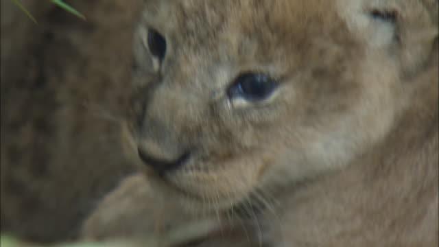 vídeos y material grabado en eventos de stock de a lion cub in the bush of serengeti national park, tanzania - vibrisas