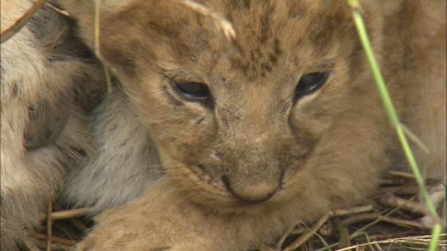 a lion cub in the bush of serengeti national park, tanzania - tierische nase stock-videos und b-roll-filmmaterial