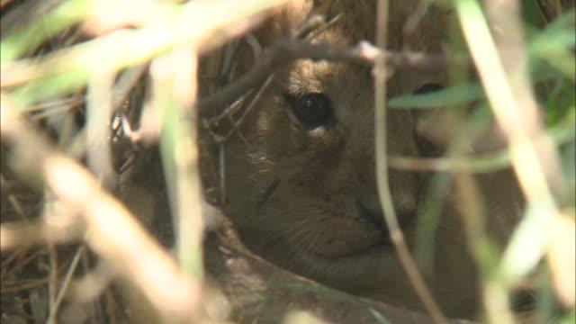 stockvideo's en b-roll-footage met a lion cub in the bush, serengeti national park, tanzania - neus van een dier